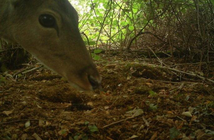 Deer in Carmarthenshire