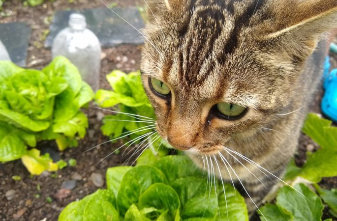 Bob helping in the veggie patch