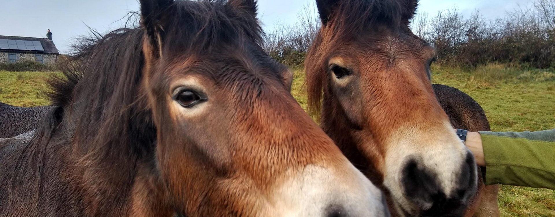 Gypsy & Rosemarie, Exmoor ponies